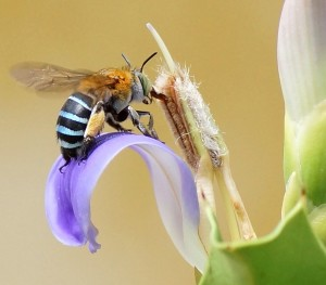 Blue_banded_bee_2 (2)