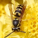 wasps-hornets-insect_w128_h128_cw128_ch128_thumb